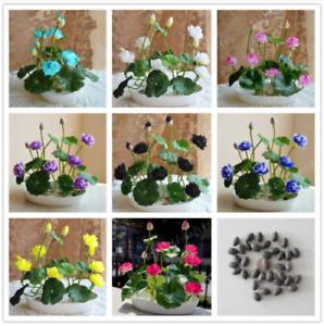 10Pcs Bowl Lotus Flower Seeds Rare Viable Water Lily Beautiful Aquatic Plants 🌼