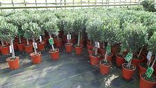 Olivenbaum Stamm Olive 80 - 110 cm hoch, beste Qualität, Olea Europaea