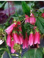 Campanula Cherry Cheeks Pink Flowering Perennial - 5 Plants