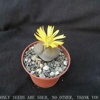 Flower - Cactus - Living Stone - Lithops Mixed - 20 B6A4 Seeds E3N4