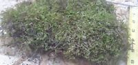 Green Cushion Moss by the pound for Terrariums and plants