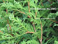 100 + seed - Northern - white - cedar -Thuya - occidentalis - Cèdre - hedge -