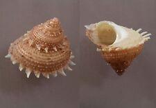 Seashells Bolma erectospinosa TURBAN SNAILS 31 mm F++/F+++ marine specimen