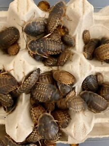 20, 50, 100, 250 Dubia Cockroaches LARGE | Dubia Roaches Reptile bird live food