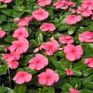Vinca- Periwinkle- Pink- 50 Seeds- BOGO 50% off SALE