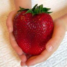15+ Goliath, Giant, Strawberry Seeds /  Long Lasting Perennial / Non Gmo
