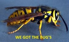 5  REAL  YELLOW JACKET WASP V Pensylanica  WET SPECIMEN INSECT TAXIDERMY !!