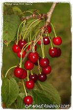 "Prunus avium ""Wild Cherry"" [EX. Co. Durham, Angleterre] 15+ Graines Bonsai"
