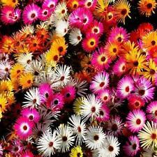 Daisy ICE PLANT LIVINGSTONE Mix Dwarf 5