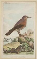 THE NUT CRACKER NUTCRACKER NOCCIOLAIA CASCANUELES CASSENOIX UCCELLI BIRDS OISEAU