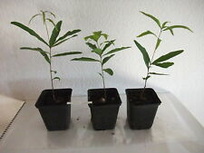 Quercus phellos Weiden  weidenblättrige Eiche sehr selten Baum Pflanze ca. 30 cm
