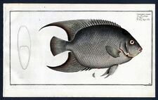 1782 BLOCH'S FISHES Chaetodon ciliaris – Die Haarschuppe – Le Peigne – The hairy