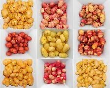 Oxalis Tuberosa, Oca tubers, New Zealand Yam, Andean vegetable - 2x  tubers
