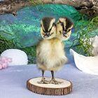 d5b Taxidermy Gaff 2 Headed Duck Duckling bizarre Curiosity Oddities Display