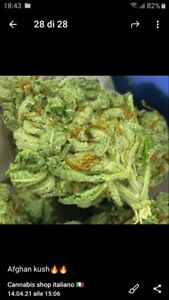 cannabis marijuana sativa