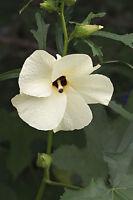 ** Exot Pflanzen Samen exotische Saatgut Zimmerpflanze Zimmerblume STRAUCHMALVE