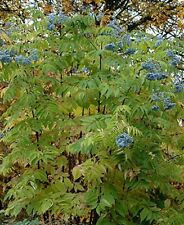 Rare Sambucus caerulea (Blue Elderberry), shrub tree, Edible, Allotments, Recipe