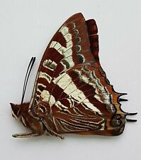 Butterfly : RARE Charaxes druceanus obscura from Burundi