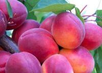 rare variety  :  SUNROSSO apricot