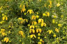 Clematis Serratifolia 10 Graines, coréen Clematis, jaune Clematis