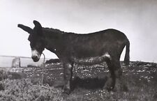c1950 B/W Unposted Postcard. ANOTHER SCILLY ASS. Scilly Isles Donkey. King