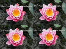 2 Live Plants Fabiola Hardy Water Lily Bulb Strong healthy not Lotus + Free Doc