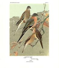 """1960 Vintage """"PASSENGER PIGEON, MOURNING DOVE"""" by JAQUES GORGEOUS Lithograph 41"""