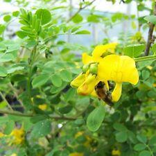 Siberian Peashrub Seeds (Caragana arborescens) 15+Seeds