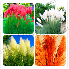 Pampas Grass Bonsai Patio Garden Decorative Potted Flowers Plants 100 PCS Seeds