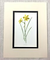 1913 Antique Botanical Print Tiny Daffodil Yellow English Garden Flowers Art