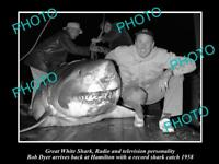 OLD 8x6 HISTORIC PHOTO OF GREAT WHITE SHARK BEEN CAUGHT BY BOB DYER c1958