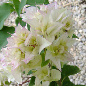Bougainvillea Double White,rooty cutting, plant
