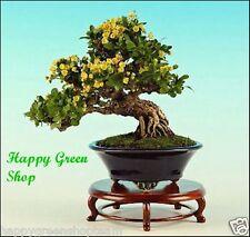 Wintergreen Barberry-Berberis julianae - 30 Semi-Albero Bonsai bellezza Arbusto