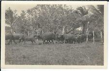 AY-329 - Carabao Herd (Water Buffalo), Guam, 1920's-1930s RPPC Real Photo Postca