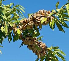 Almond tree 'MARINADA' Winter hardy, very late flowering (Prunus dulcis) Grafted