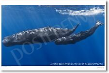 Mother Sperm Whale and Calf - NEW Animal Wildlife POSTER