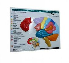 Brain Model & Puzzle : Anatomy & Functional Areas of the Brain, Hardcover by ...
