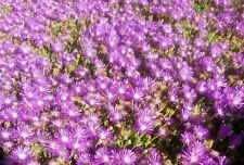 1/2 pound DELOSPERMA SUTHERLANDII HARDY ICE PLANT beautiful GROUND COVER