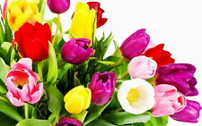 Tulip flowers mix of colors 50 seeds