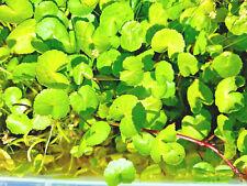 5 x Rooted Cutting Brazilian pennywort Hydrocotyle leucocephala Aquarium Plant