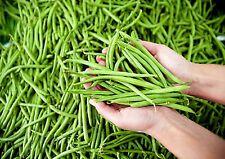 Haricot vert nain sans fil Pongo. Sachet de 100 graines