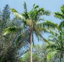 10 Nannorrhops ritchiana Palmen Samen Palme Mazaripalme Seeds