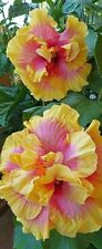 AA Hibiscus seeds Yellow-Pink King Hibiscus tree seeds 10 PC