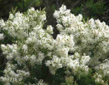 Snow in Summer (Melaleuca linariifolia) - Ornamental or Essential Oil  250 Seeds