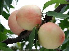 1 Pack 4 Peach Tree Seeds Sweet Peaches Peach Heirloom Organic S023
