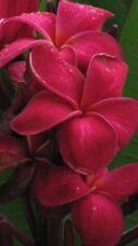 5 Rare Dark Pink Plumeria Seeds Plants Flower Lei Hawaiian Fragrant Garden