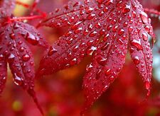 Japanese maple tree (Acer palmatum Atropurpureum) from Turkey