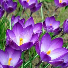 20 CROCUS RUBY GIANT BULB CORM AUTUMN GROWING GARDENING SPRING PURPLE FLOWERING