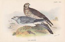 Kornweihe Circus cyaneus Accipitridae Chromolithographie 1896 HEN HARRIER