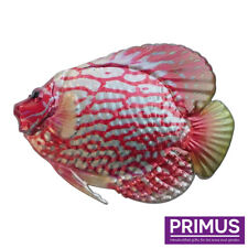 Primus Metal Discus Tropical Fish Wall Art Red & Silver Hand Finished PA2055